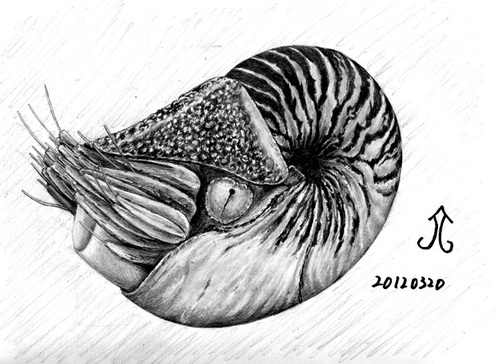 Cartoon: nautilus pompilius (medium) by Teruo Arima tagged chinko,manko,pretty,nautilus,pompilius