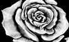 Cartoon: White Rose (small) by swenson tagged rose,flower,blume