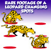 Cartoon: rare footage (small) by toons tagged leopard,changing,your,spots,cats,felines,habits,africa,footage,rare