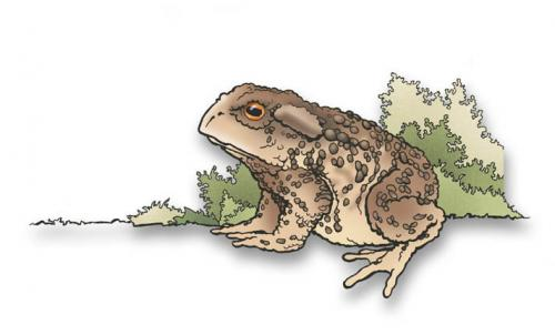 Cartoon: frog toad (medium) by hansoleherbst tagged frog,toad,